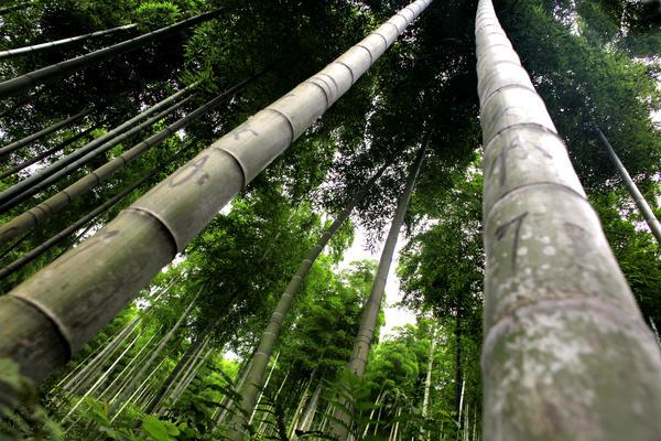 Bamboo Benefits Moso Bamboo Surfaces